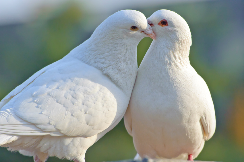 Two doves sitting close to another, touching one another's faces