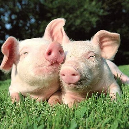 Two Piglets