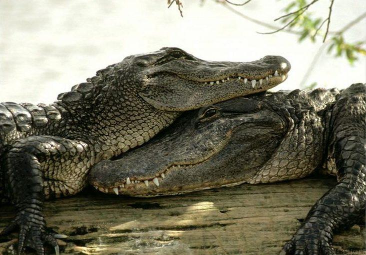 A crocodile using their mates head as a pillow