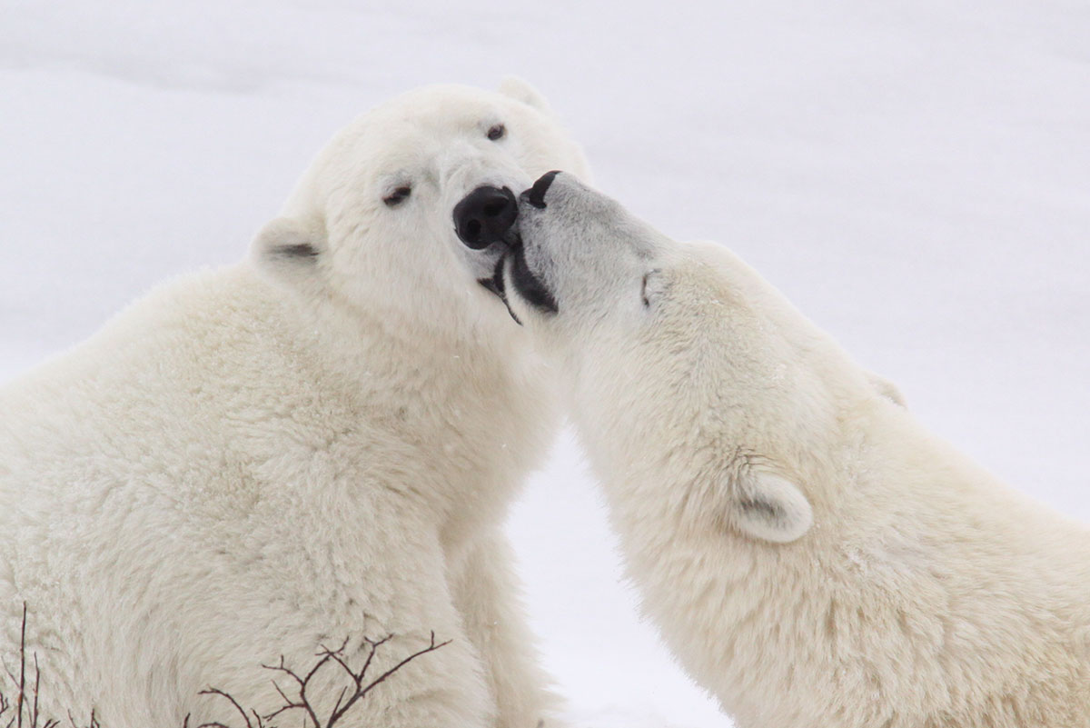 Two Polar bears kissing in the snow