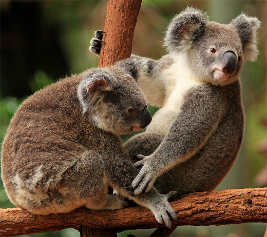 Two Koala bears sitting on a tree branch