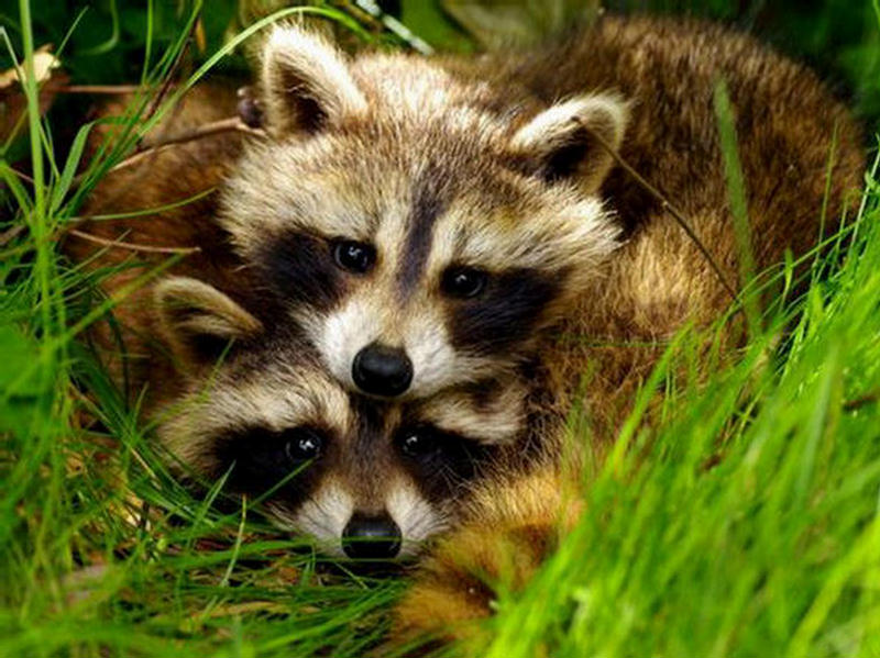A raccoon lying on top of her mate