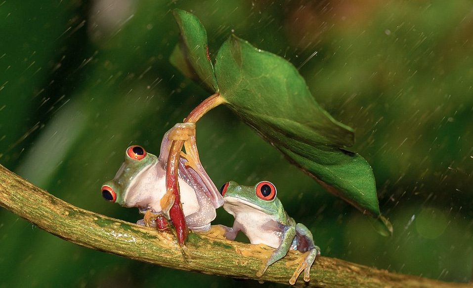 Two frogs, one holding a leaf in his hands