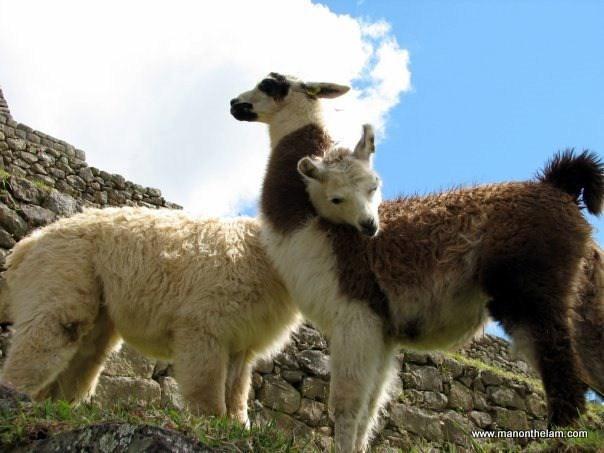 A lama wrapped his neck around their mates' neck
