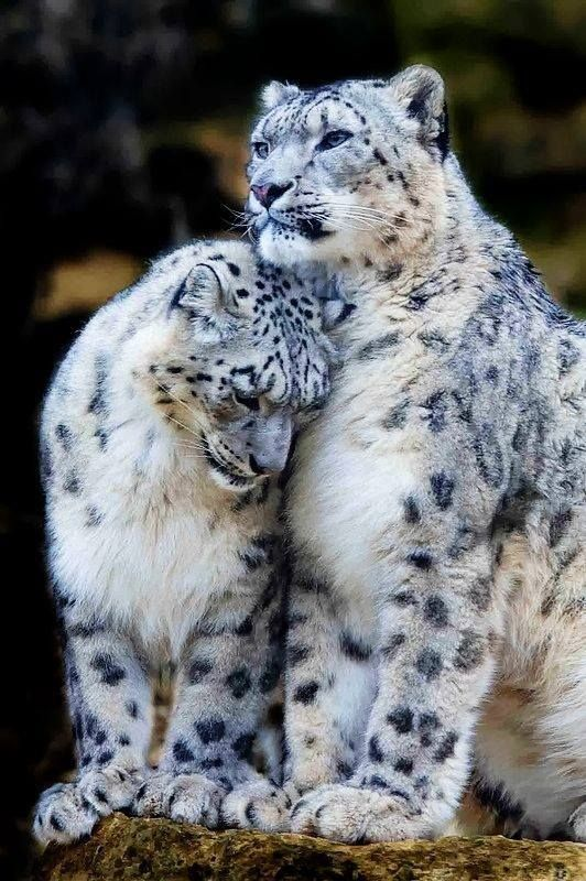 A snow leopard cuddling up to her man