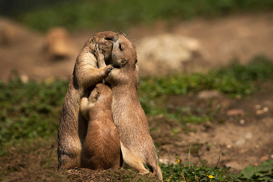 Two beavers kissing while their child tries to get between them