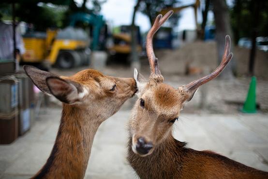 A deer grooming her man