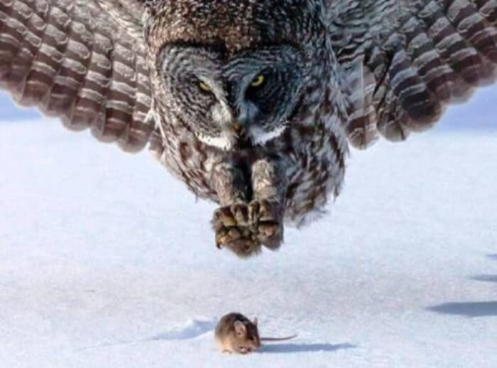 Owl about to catch a mouse