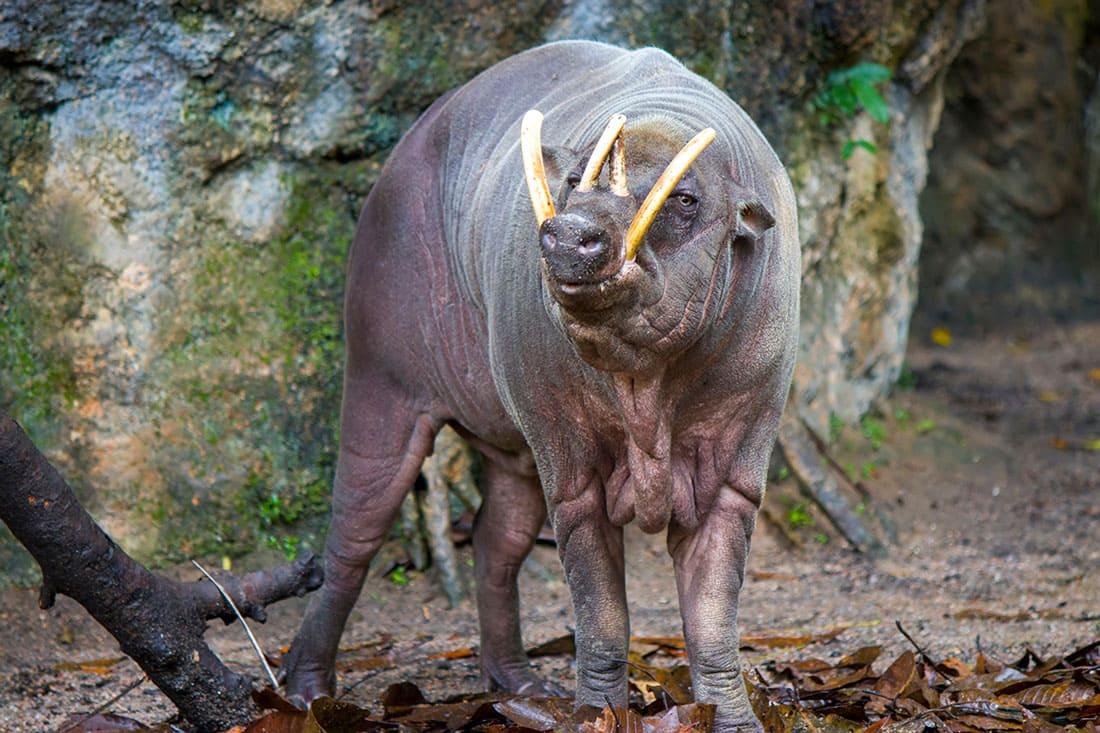 babirusas