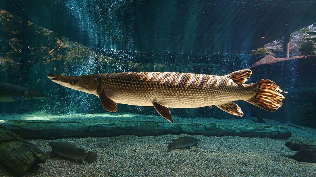 alligator gar