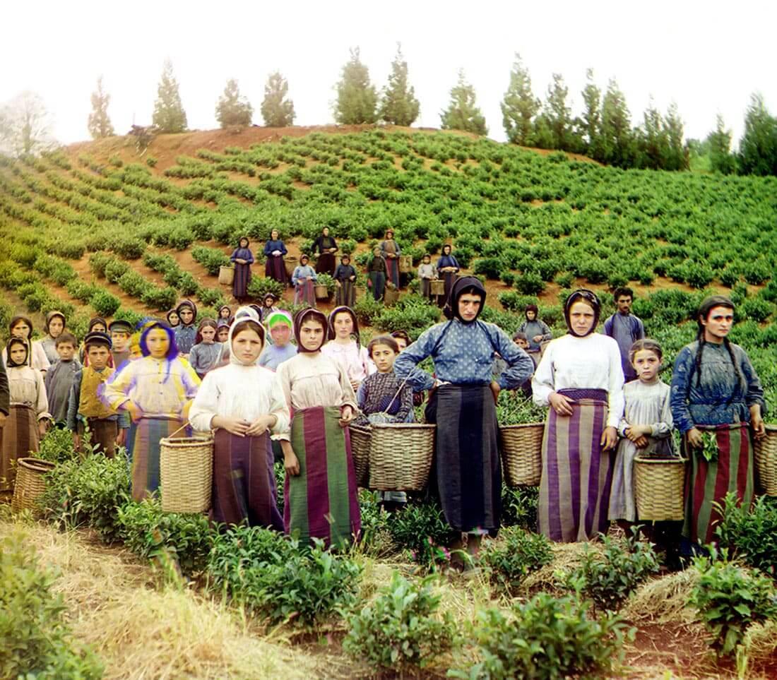 A group of Greek female workers harvesting tea.