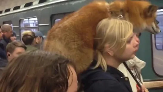 A Russian woman on the train with a fox on her shoulder riding along with her.