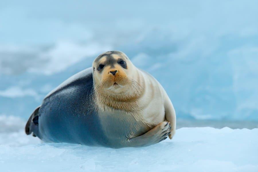 Photograph of a cute seal with a beard sitting on an iceberg.
