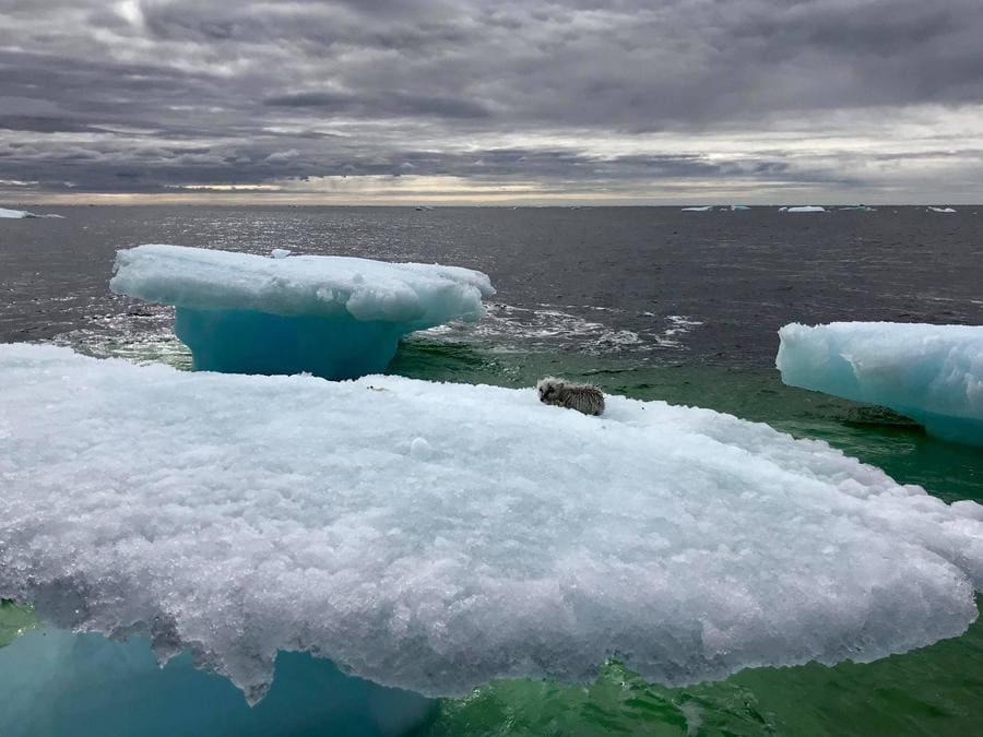 Photo of the tiny animal on the iceberg.