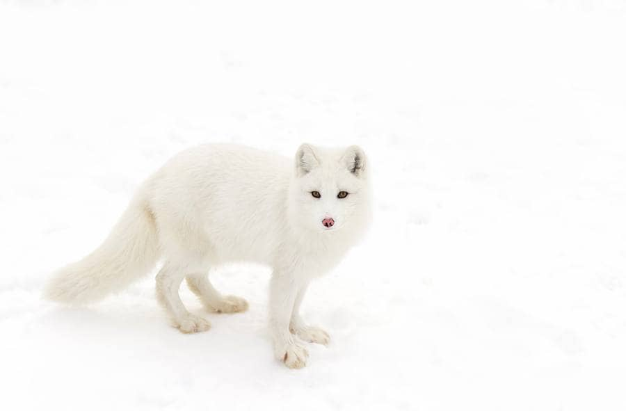 A white fox looking towards us about to move forward.