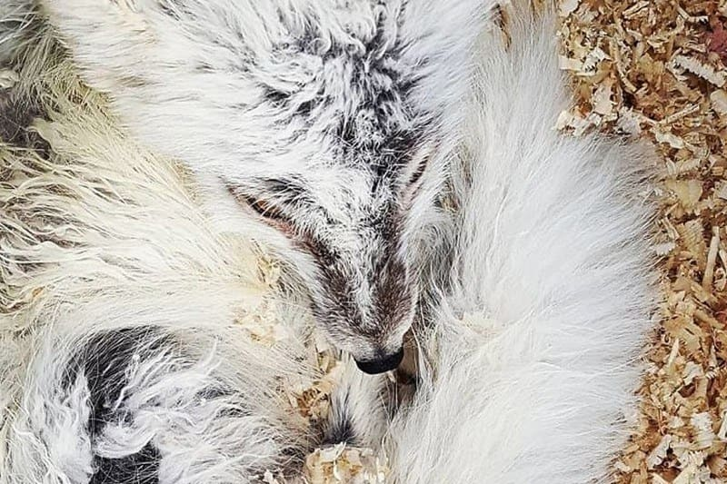 Photograph of a small white fox.