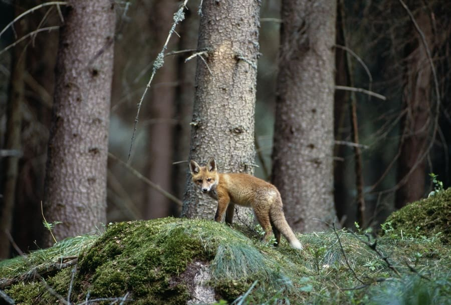 Photograph of a fox in the wild.