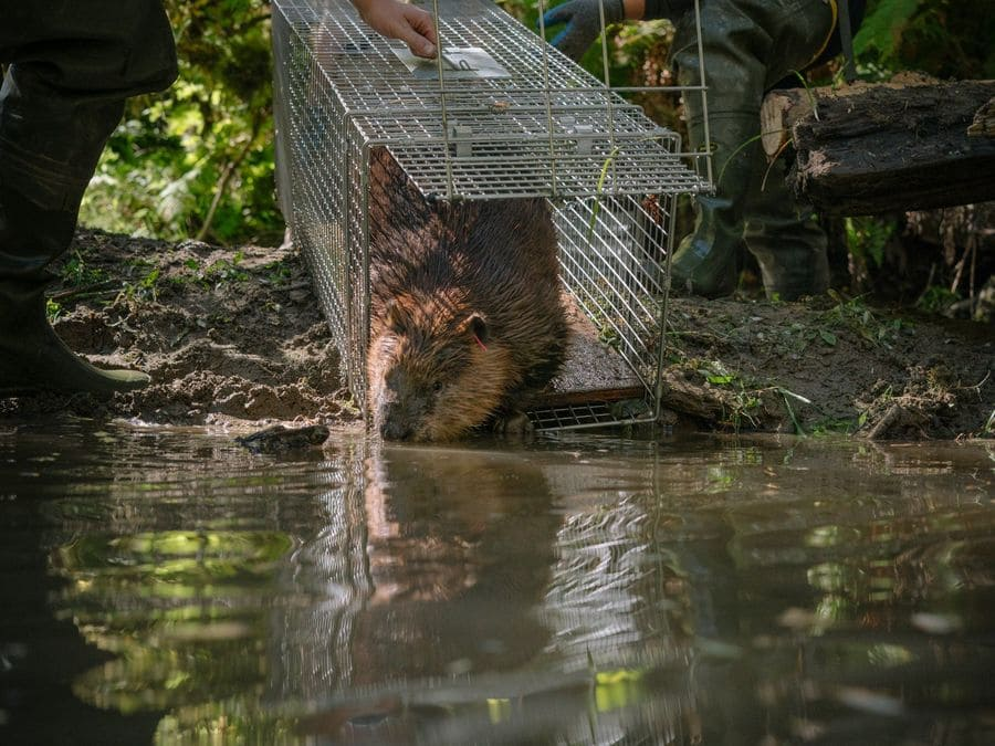 Photograph of a beaver being released from an animal cage.