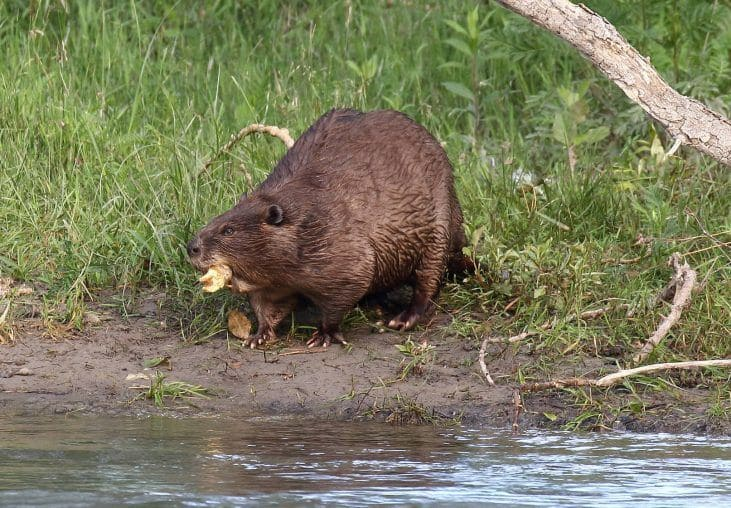 Photograph of a beaver eating next to a river.