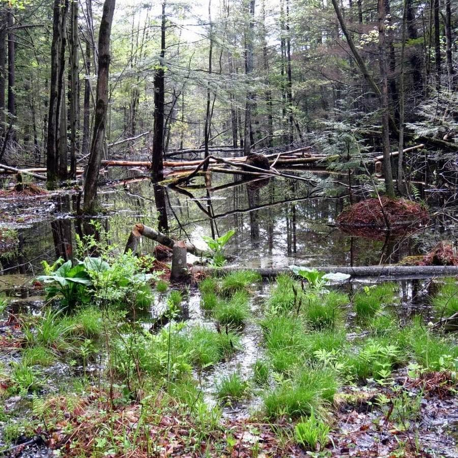 Photograph of trees in a body of water which were eaten by a beaver.