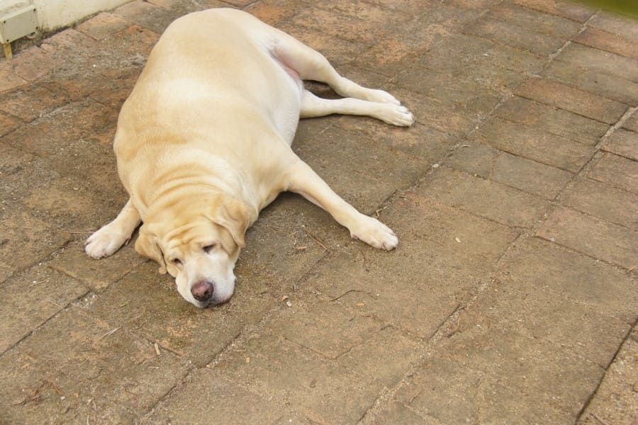 Photograph of an overweight Labrador napping on the floor.