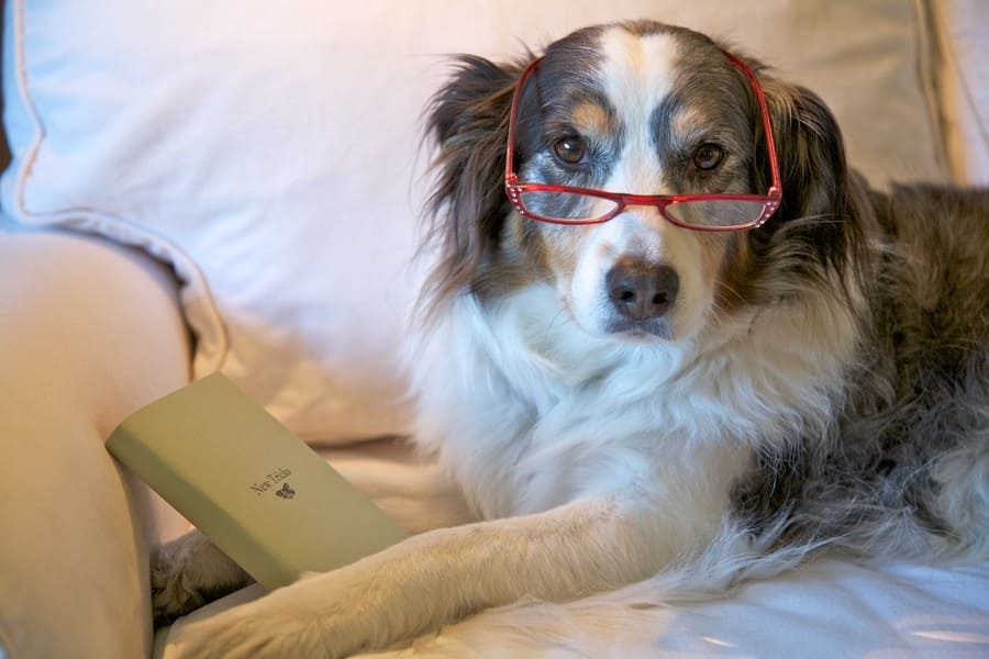 An older dog with reading glasses on.