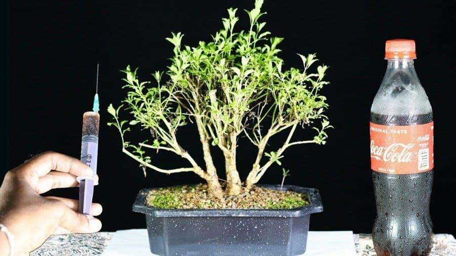 Fertilizing plants using Coca Cola