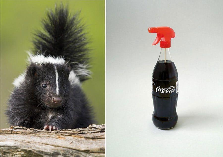 a skunk / Coca Cola in a spray bottle