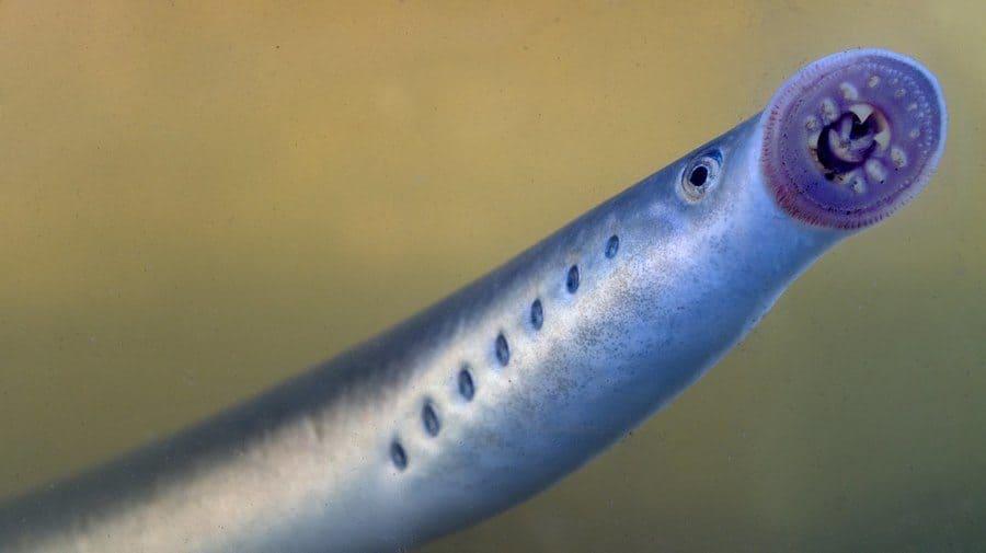 lamprey in water