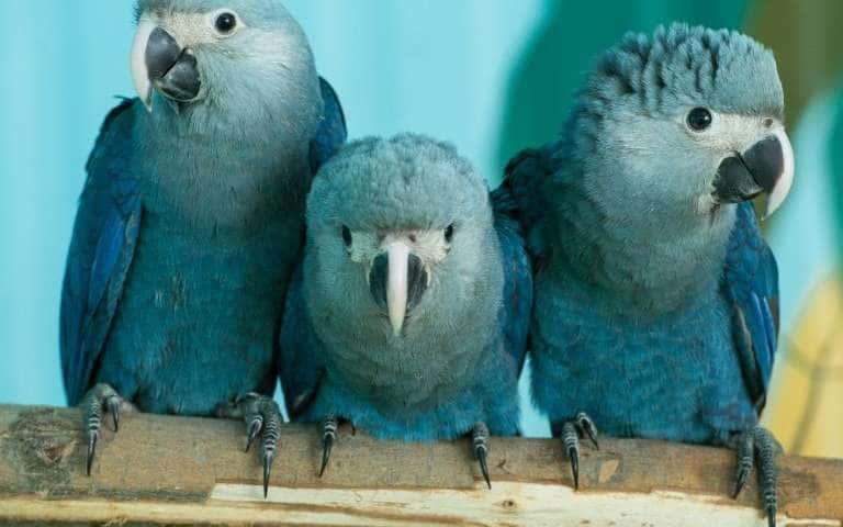 three blue Spix macaw birds sitting on a branch