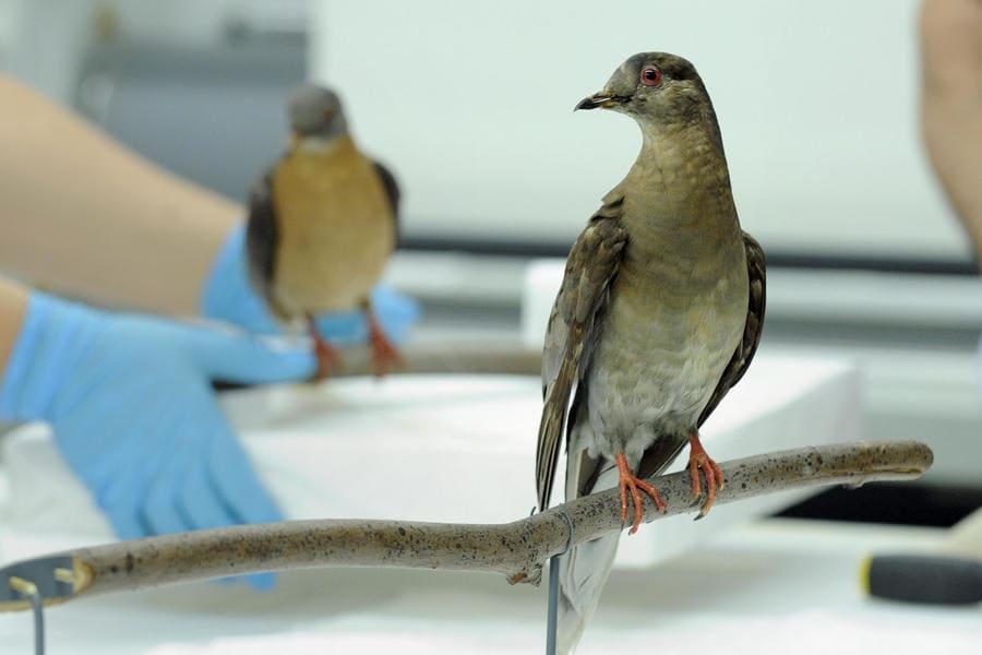passenger pigeon sitting on a branch