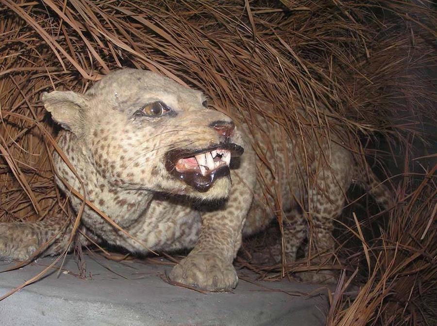 Zanzibar leopard revealing its sharp teeth