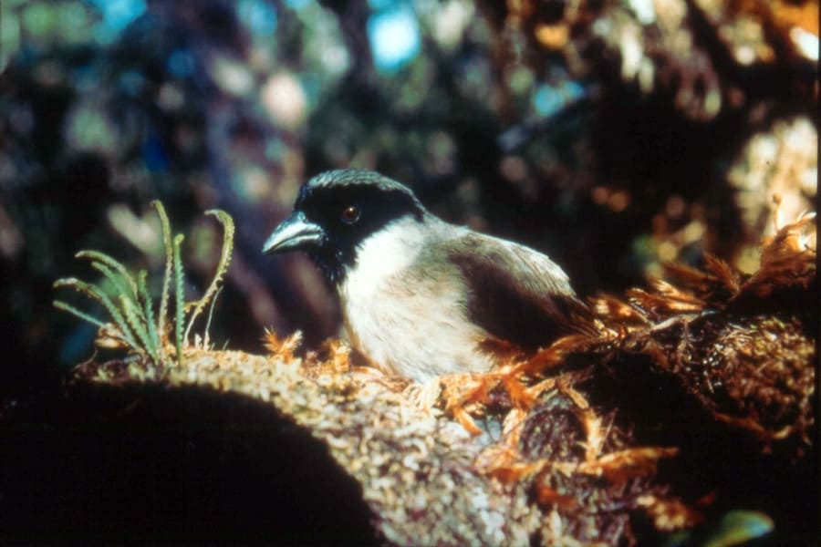 Po'ouli bird sitting in its nest