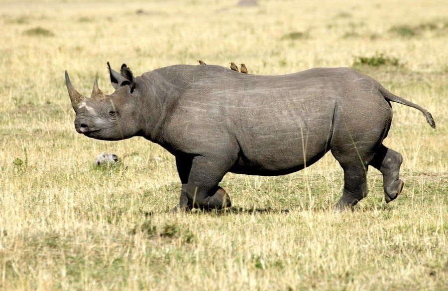 West African Black Rhino in a field