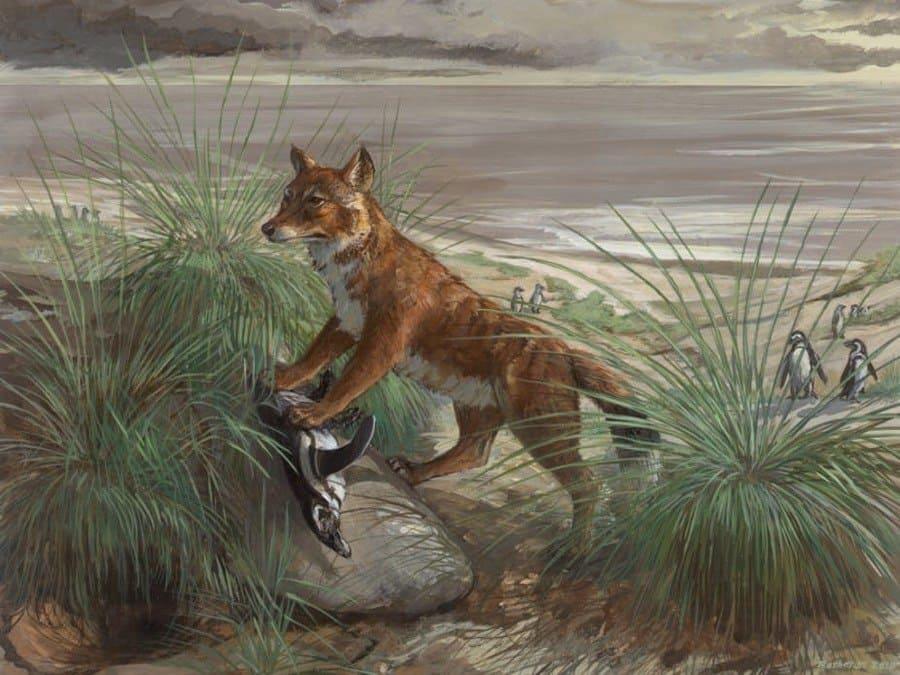 illustration of a Falkland Islands Wolf