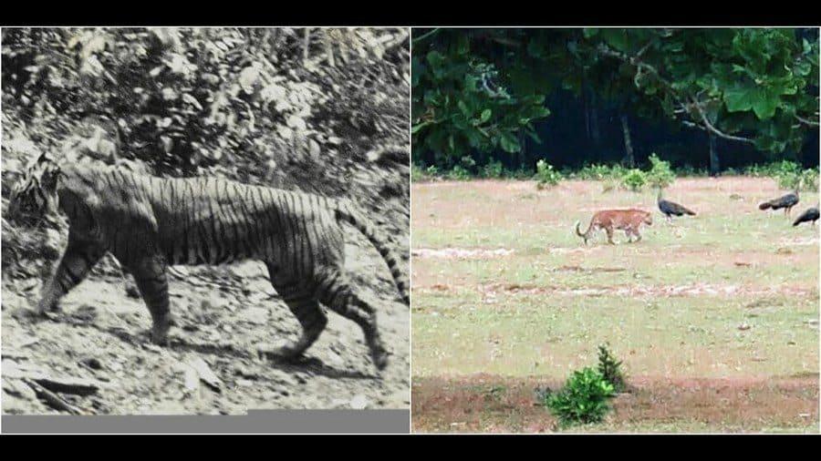 side by side images of Javan tigers
