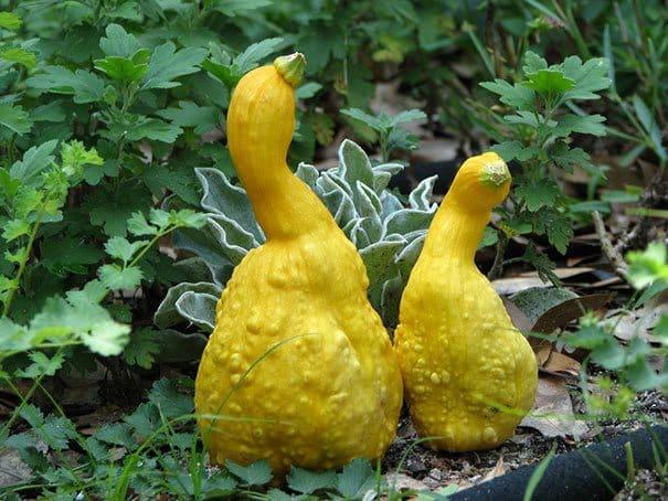 Squash that looks like ducks