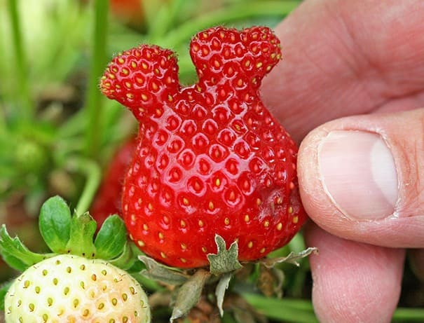 A strawberry that looks like Mickey Mouse