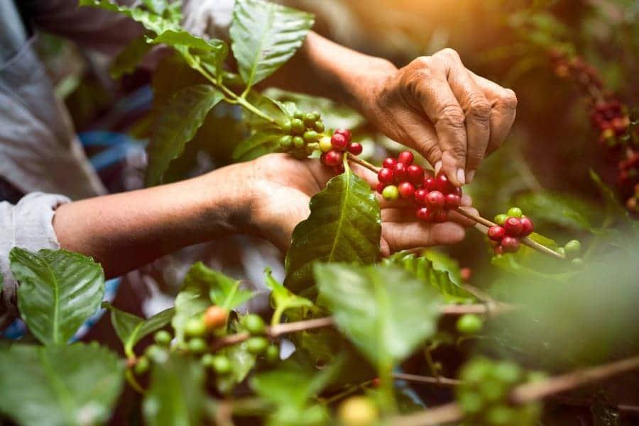 Arabica coffee berries being picked