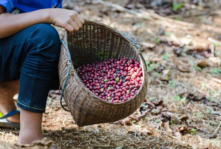 Robusta coffee berries in a basket