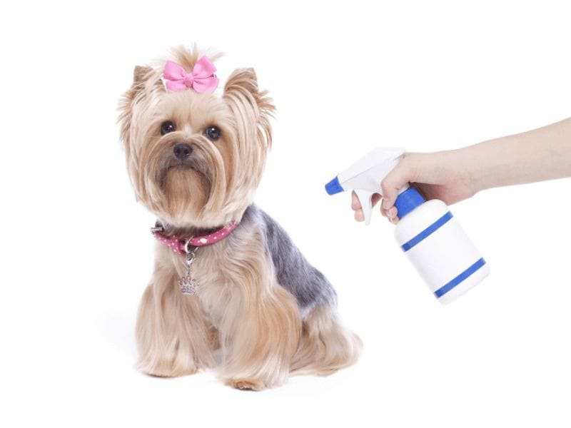 Someone is lightly spraying their Yorkie, who has their hair in a pink ribbon, with vinegar.
