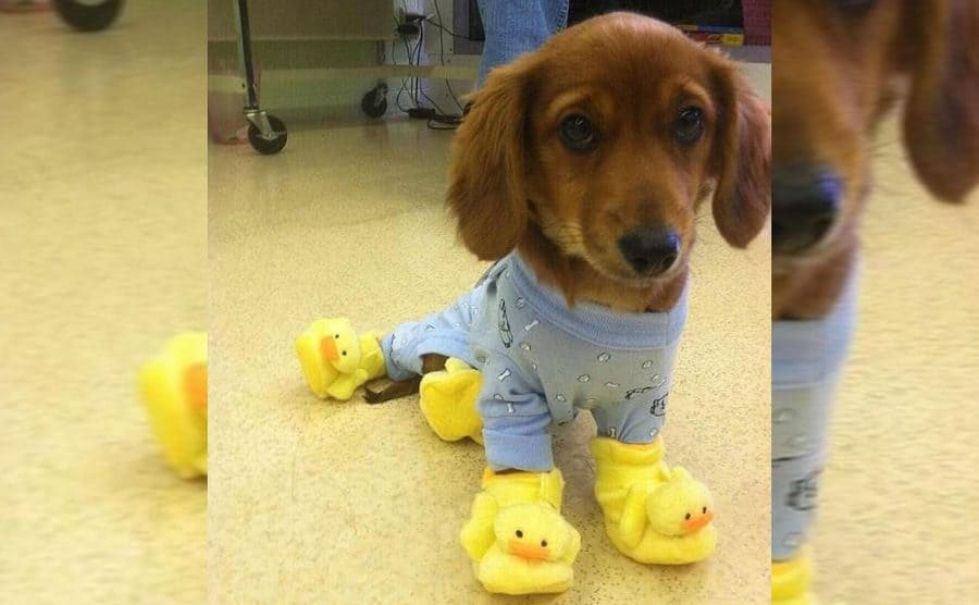 A dachshund in pajamas and duck slippers