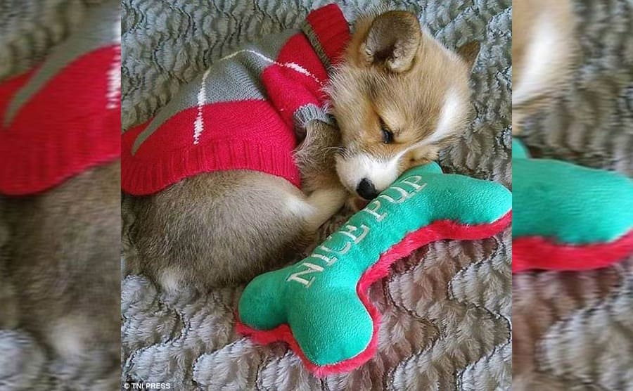 A Corgi puppy in a sweater lying next to a stuffed bone toy that says 'nice pup.'