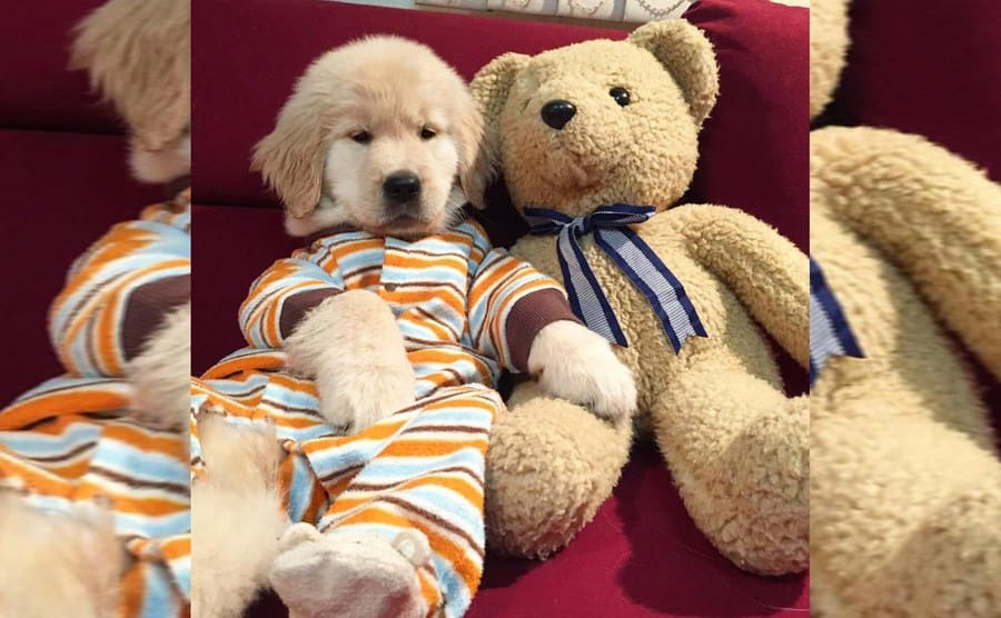 A golden retriever wearing pajamas cuddling up to a teddy bear on the couch