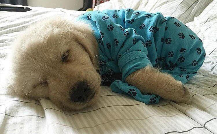 A small fluffy dog in blue paw print pajamas