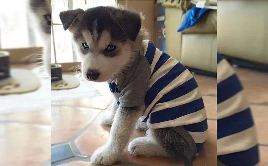 A Husky puppy wearing blue and white striped pajamas with short grey sleeves