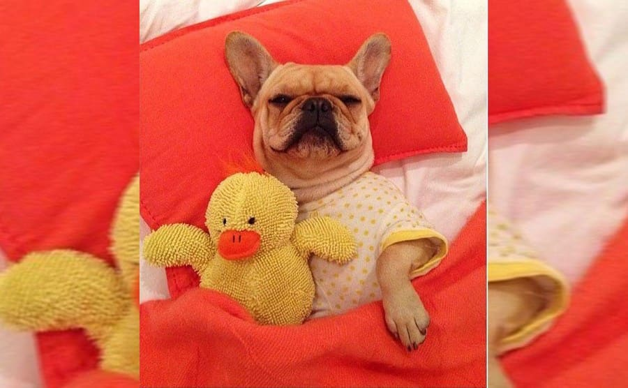 A puppy lying in bed with pajamas on holding a yellow stuffed duck toy
