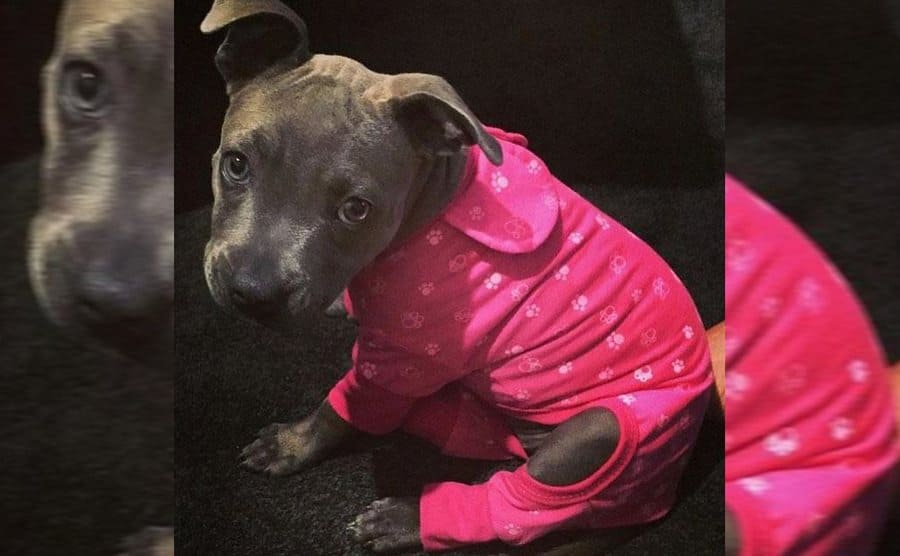 A pit bull puppy wearing hot pink pajamas with white paw prints on them