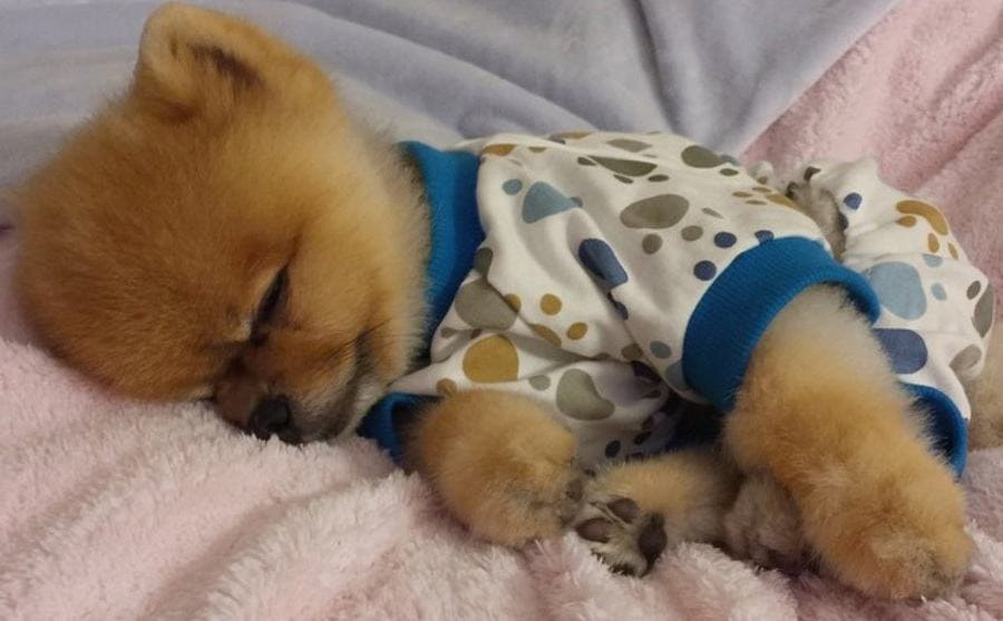 A Pomeranian in pajamas napping on a pink and a grey fuzzy blanket