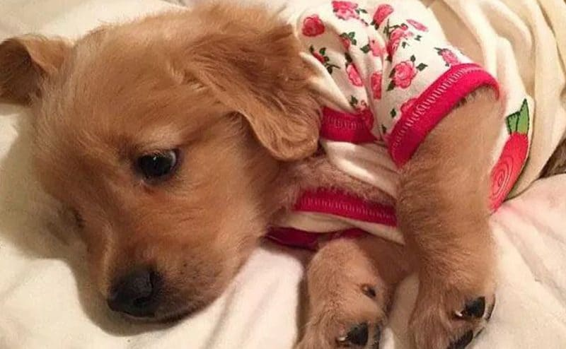 A tan Labrador puppy wearing pajamas with pink roses on it